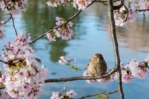 Cute house sparrow perched on a tree branch with beautiful cherry blossom flowers