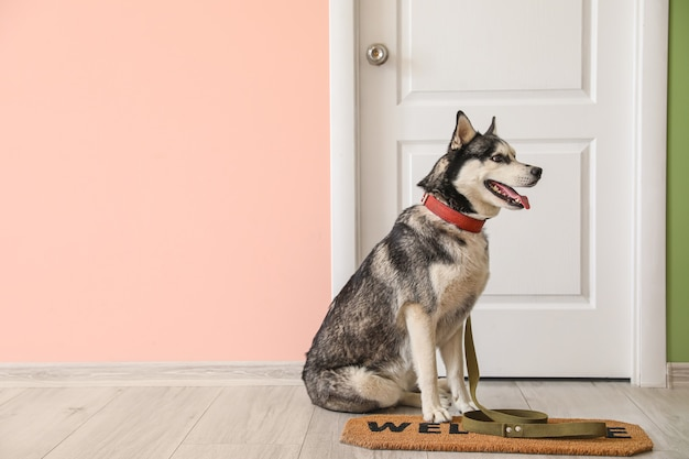 Милая собака хаски возле двери в коридоре