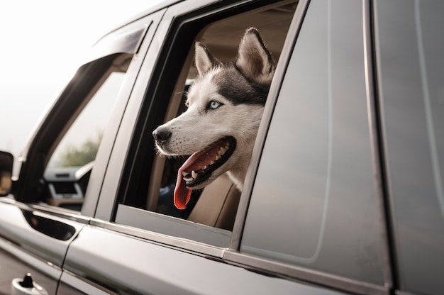 Cute husky peeking its head out of the window while traveling by car