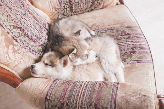 집에서 자 고 귀여운 허스키 강아지의 자에서 자 고 구리 시베리안 허스키 강아지.