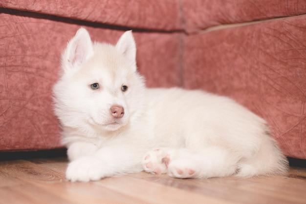 かわいいハスキーの子犬は悲しいです