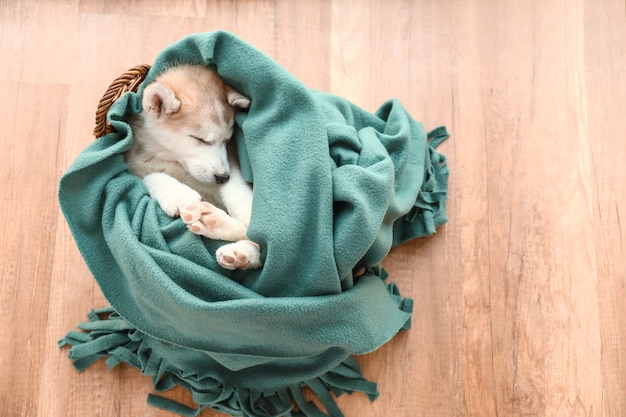 Cute husky puppy sleeping at home
