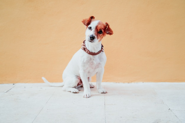 Cute jack russel dog sitting over yellow wall