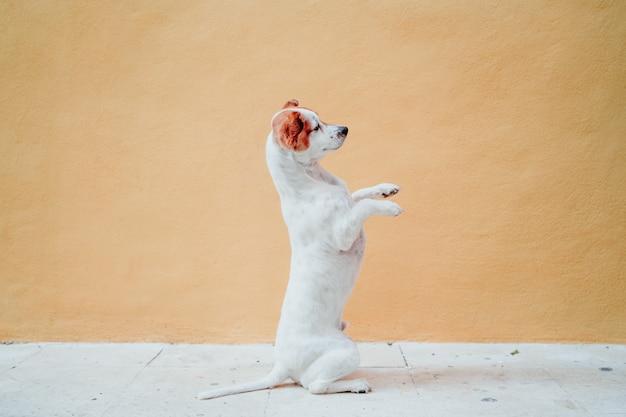 Милая собака джека рассела стоя на 2 ногах над желтой стеной. милая собака просит лакомства с лапами