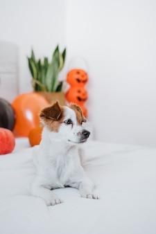 집에서 귀여운 잭 러셀 강아지. 침실에서 할로윈 배경 장식