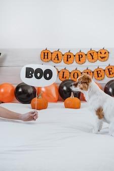 Милая собака джек рассел дома. украшение на хэллоуин в спальне с воздушными шарами, гирляндой и тыквами