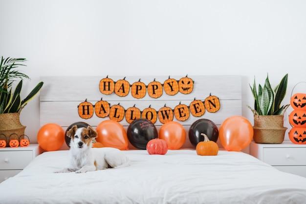 自宅でかわいいジャックラッセル犬。風船、花輪、カボチャと寝室のハロウィーンの装飾