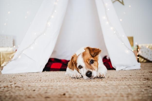 Милая собака джек рассел дома стоя с рождественскими украшениями. рождественское время