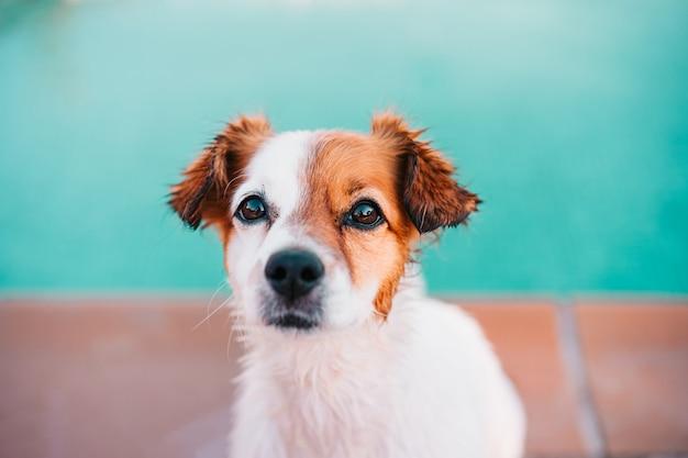 かわいいジャックラッセル犬、プール、夏の時間