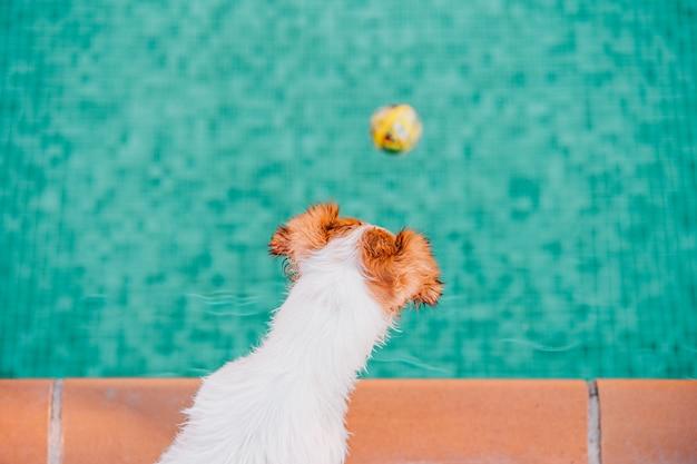 Милый джек рассел собака у бассейна, летнее время
