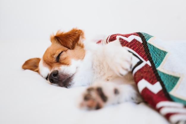 Милая собака джека рассела покрытая при этническое одеяло лежа на кровати дома. образ жизни в помещении