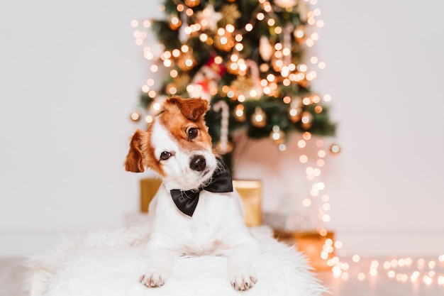 Cute jack russell dog at home by the christmas tree, dog wearing a bow tie