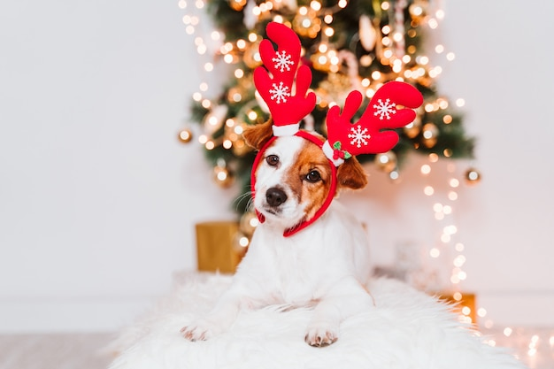 Cute jack russell dog at home by the christmas tree, dog wearing a red santa diadem