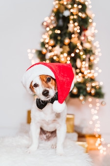 Cute jack russell dog at home by the christmas tree, dog wearing a red santa hat