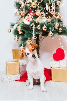 Cute jack russell dog at home by the christmas tree