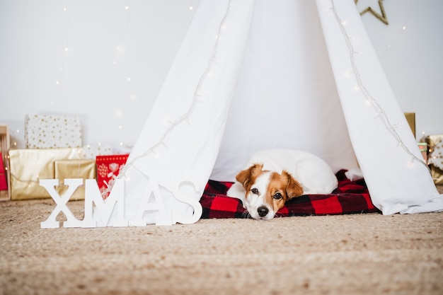 Cute jack russell dog at home standing with christmas decoration. christmas time