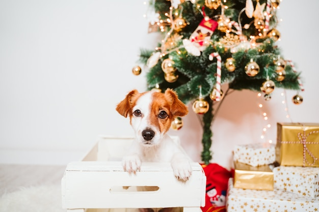 Cute jack russell dog into a box at home by the christmas tree