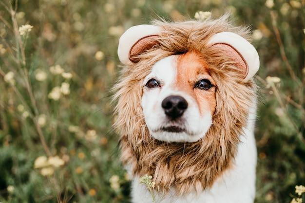 Милая собака джек рассел в костюме льва на голове. счастливая собака на открытом воздухе в природе на лугу желтых цветов. солнечная весна