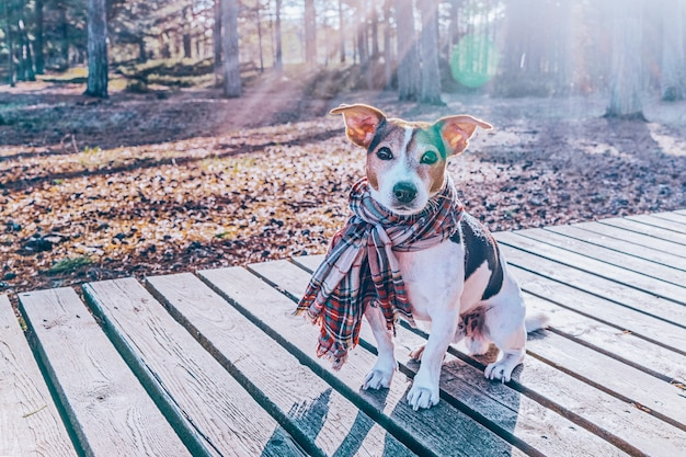Милая собака джек рассел, одетый в шарф, сидя на деревянной набережной