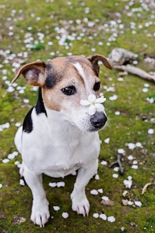 Cute jack russell sitting in grass with white petals