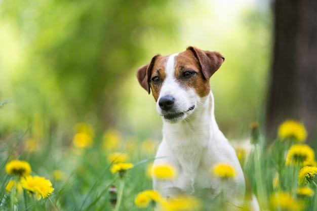 黄色い花のクローズアップでかわいいジャックラッセルテリア。茶色の斑点のある白い犬の肖像画。背景がぼやけている。