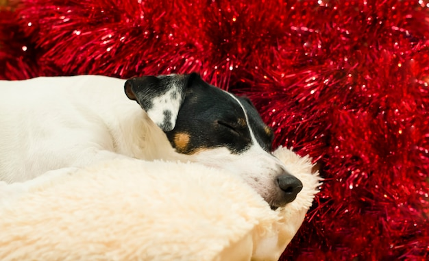 Cute jack russell terrier is sleeping on a pillow against a red tinsel. new year. christmas