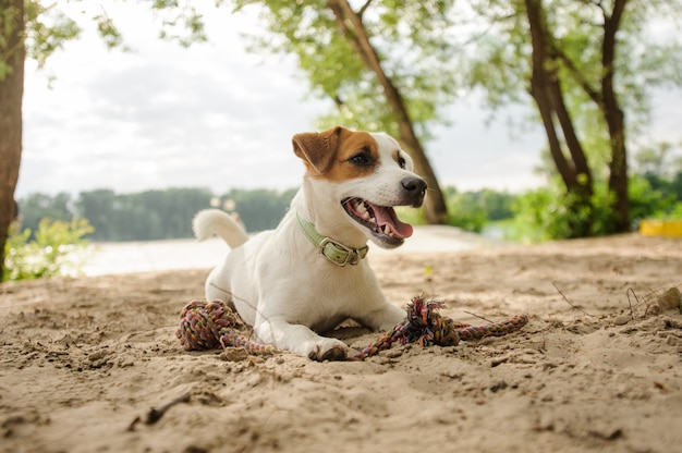 Cute jack russell terrier puppy playing with a rope on the beach