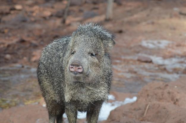 Милый копье свинья в дикой природе стоя