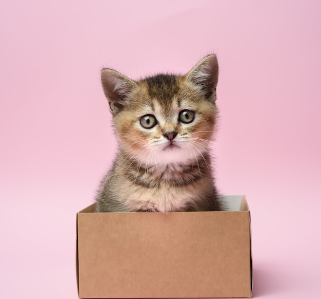 Cute kitten of the breed scottish golden chinchilla straight sits in a brown box, pink background