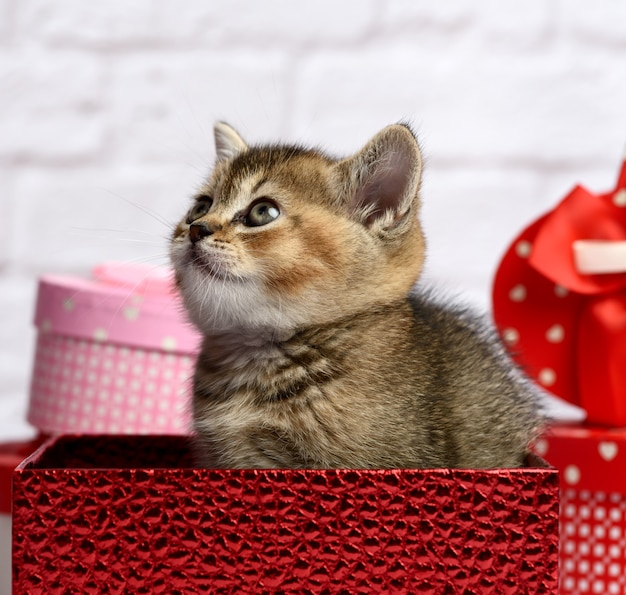 Cute kitten of the breed scottish golden chinchilla straight sits in a red gift box