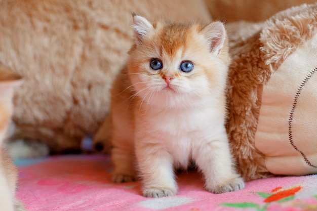 かわいい子猫ブリティッシュゴールデンチンチラはソファーに横になっています。
