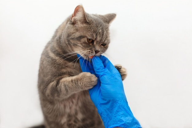 Cute kitten getting a pill from veterinarians hand in blue gloves over light background