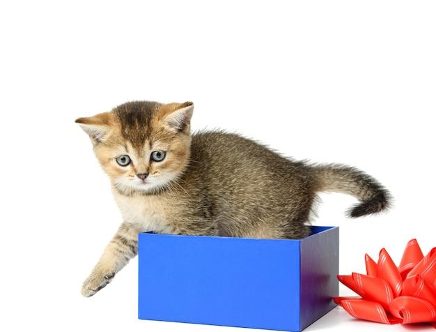チンチラの品種のかわいい子猫はまっすぐ青いギフトボックスに座っています