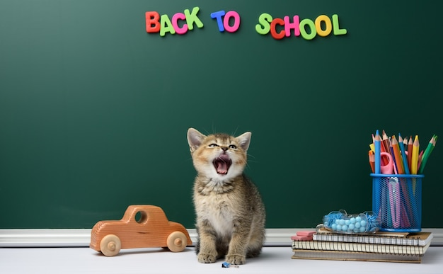 Cute kitten scottish chinchilla sitting with open mouth on a book on a background of green chalk board and stationery, back to school