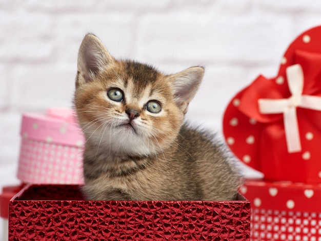 Cute kitten scottish chinchilla straight breed sits on a white background and boxes with gifts, festive background