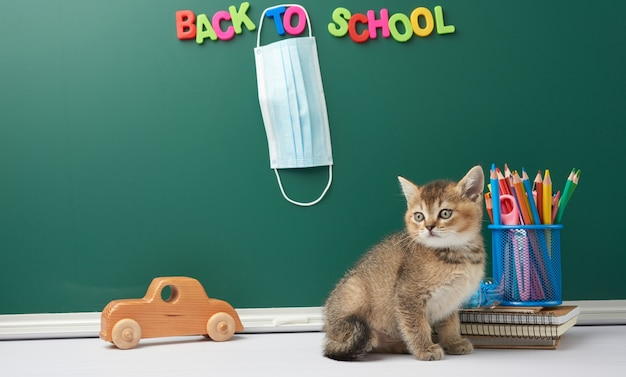 Cute kitten scottish chinchilla straight sitting, background of green chalk board and stationery, back to school, medical mask hanging on the board, quarantine