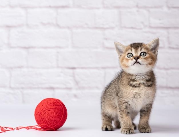 かわいい子猫スコットランドの黄金のチンチラストレート品種と白い背景の上の糸の赤いウールのかせ