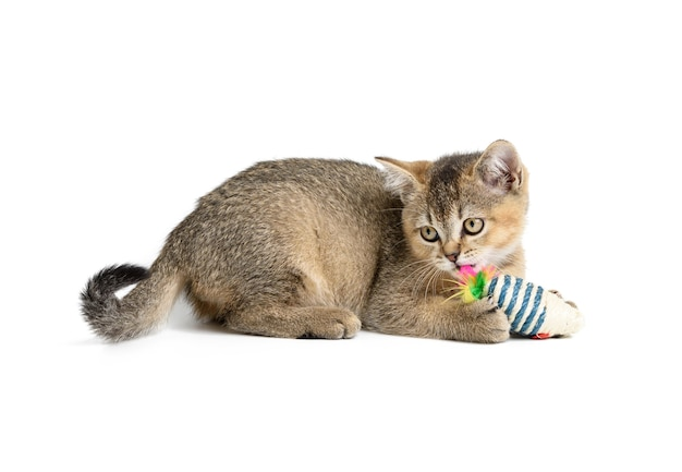 Cute kitten scottish golden chinchilla straight breed, cat playing on white background, copy space