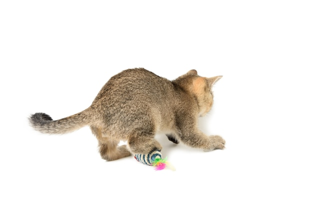 Cute kitten scottish golden chinchilla straight breed, cat playing on white surface, close up