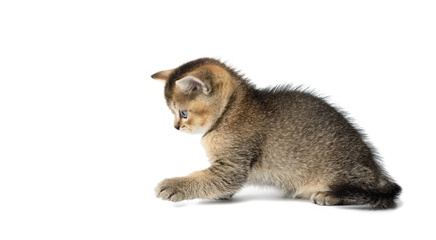 かわいい子猫スコットランドの黄金のチンチラストレート品種の猫が遊ぶ
