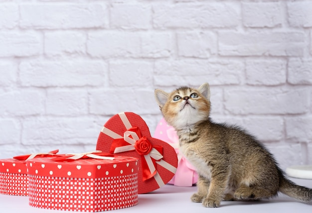 Милый котенок шотландской золотой шиншиллы прямой породы на белом фоне и коробки с подарками, праздничный фон
