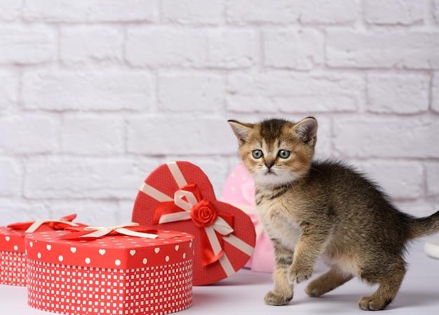 Милый котенок шотландской золотой шиншиллы прямой породы сидит рядом с подарочными коробками