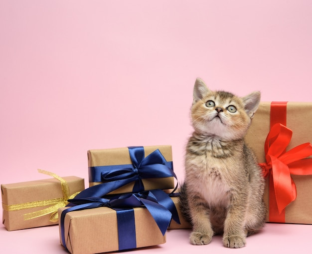 Cute kitten scottish golden chinchilla straight breed sits on a pink background and boxes with gifts, festive background