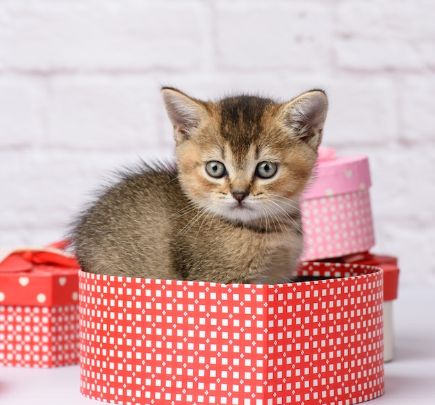 Cute kitten scottish golden chinchilla straight breed sits on a white background and boxes with gifts, festive background
