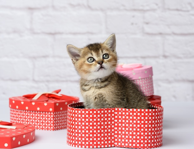 Cute kitten scottish golden chinchilla straight breed sits on a white background and boxes with gifts, festive background Premium Photo