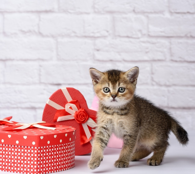 Cute kitten scottish golden chinchilla straight breed on a white background and boxes with gifts, festive background Premium Photo