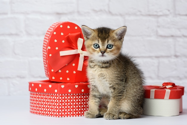 Cute kitten scottish golden chinchilla straight breed