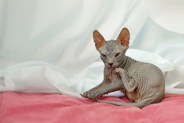 Милый котенок сфинкс в смешной позе
