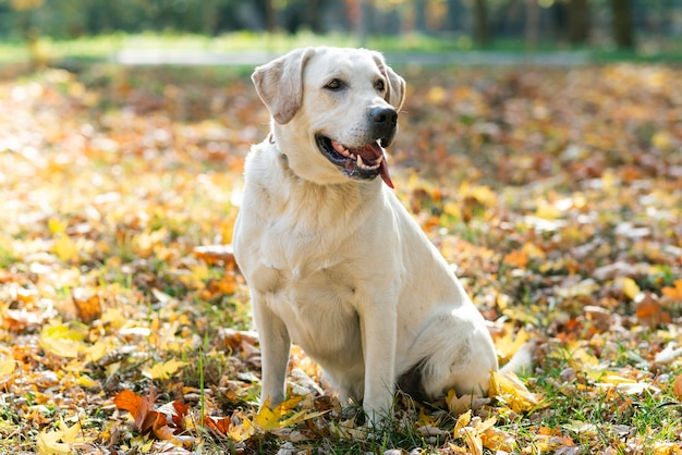 Cute labrador outside in the park