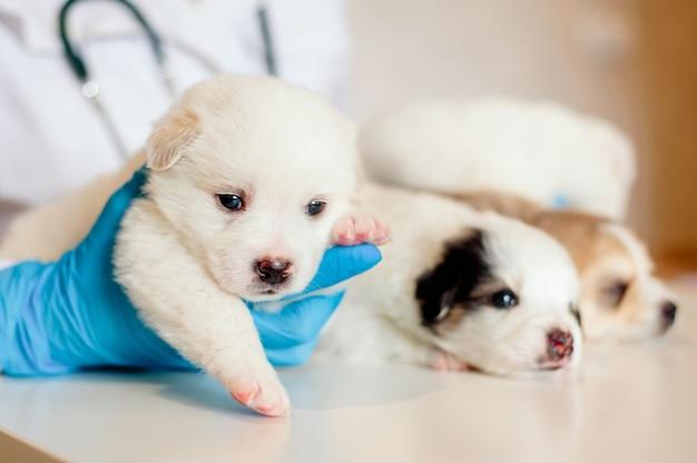 獣医師の腕の中でかわいいラブラドール子犬-クローズアップ
